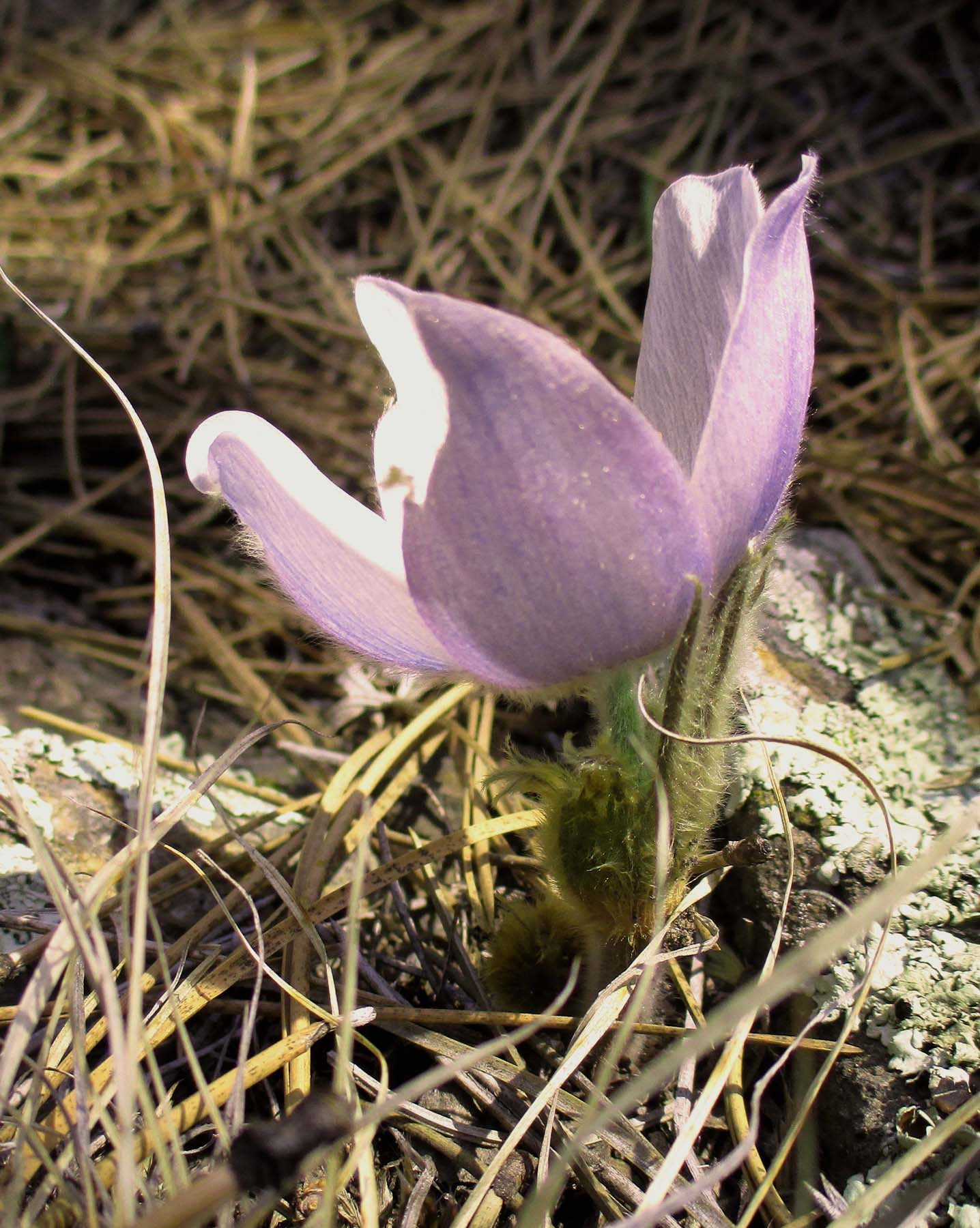 There were a few early blooming Pasque flowers making a showing on Easter Sunday as is typical. Look for a large spray of the state flower on the first real warm day this spring, just west of the Children's Home on Old Rockerville Road. The steep slopes are like a hanging garden of the lovely purple flowers for a very short time each year.
