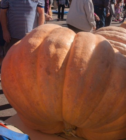 Giant pumpkins on display during the biggest pumpkin contest weigh in at the Festival Sept.